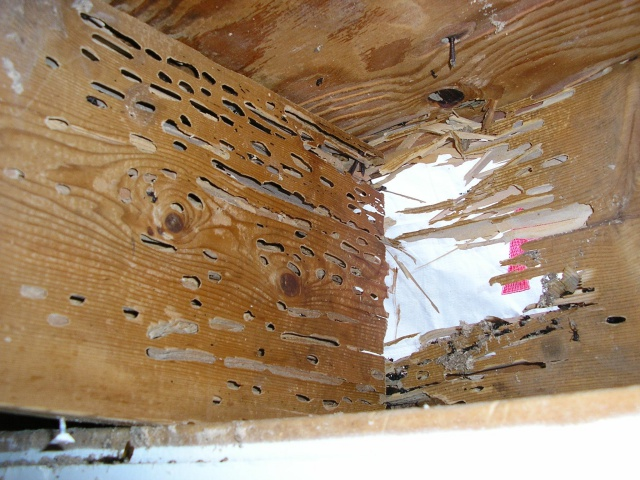 Carpenter ant home inspection NH