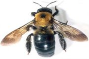carpenter-bee-2